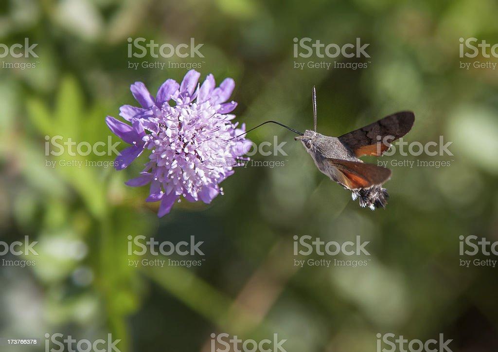 Humming bird moth stock photo