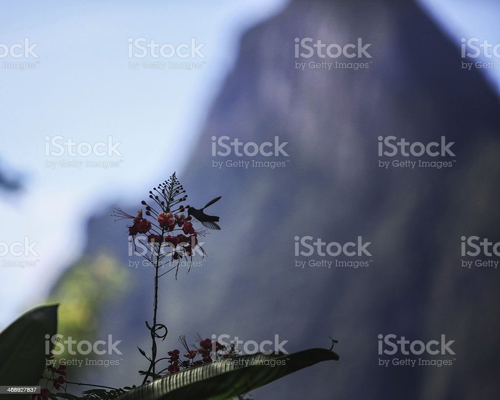 Humming Bird St lucia, stock photo