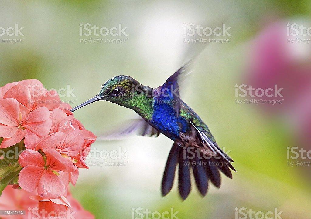 hummingbird and flower stock photo