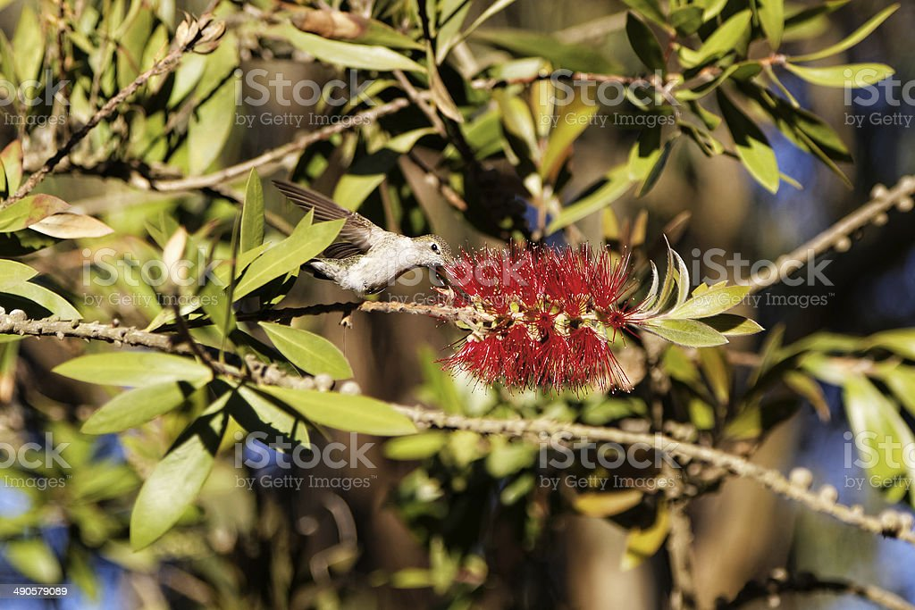Hummingbird and Flowers royalty-free stock photo