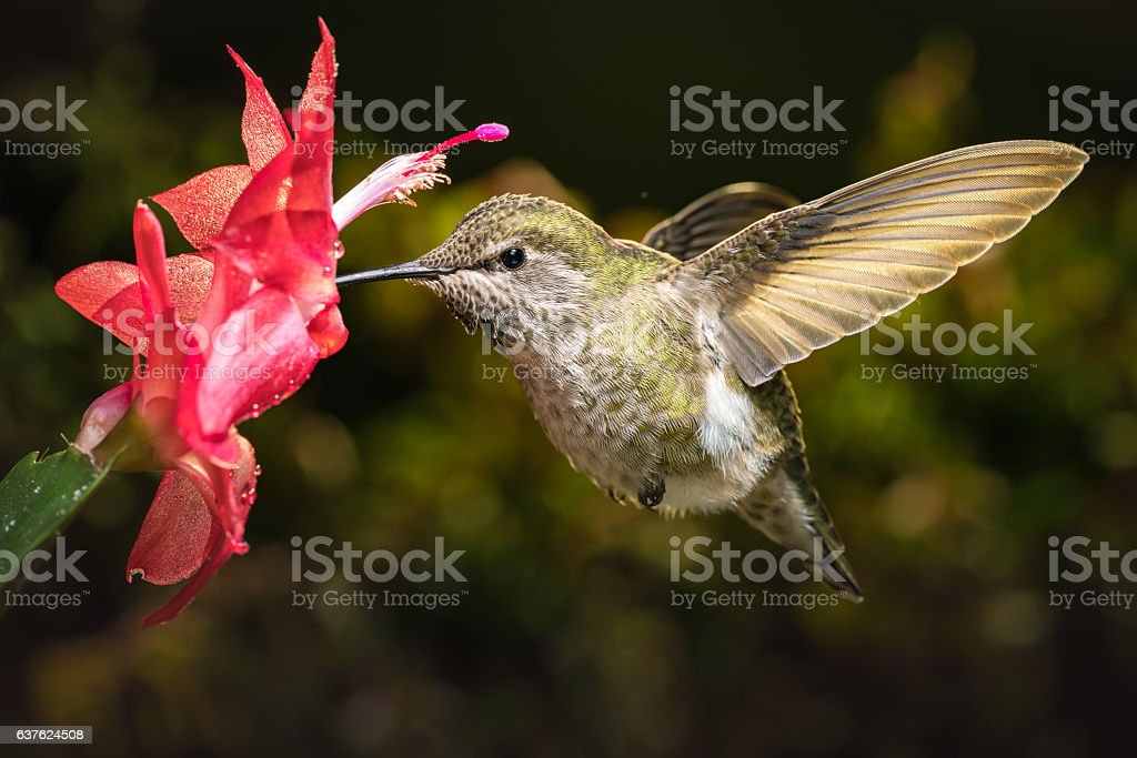 Hummingbird and her favorite red flower stock photo