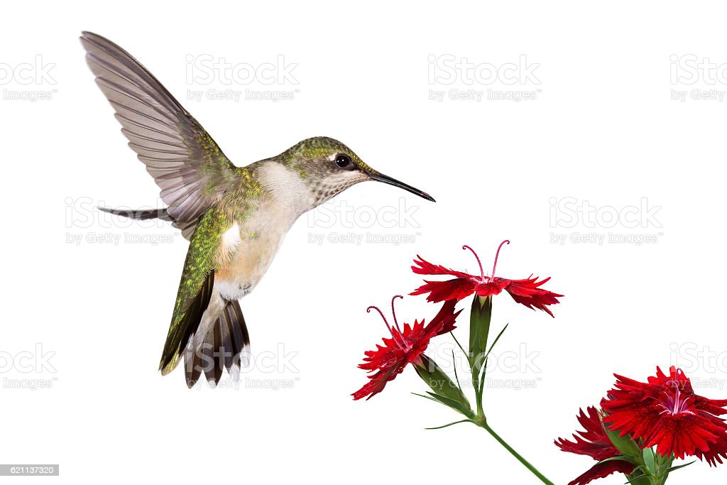 hummingbird and three dianthus stock photo