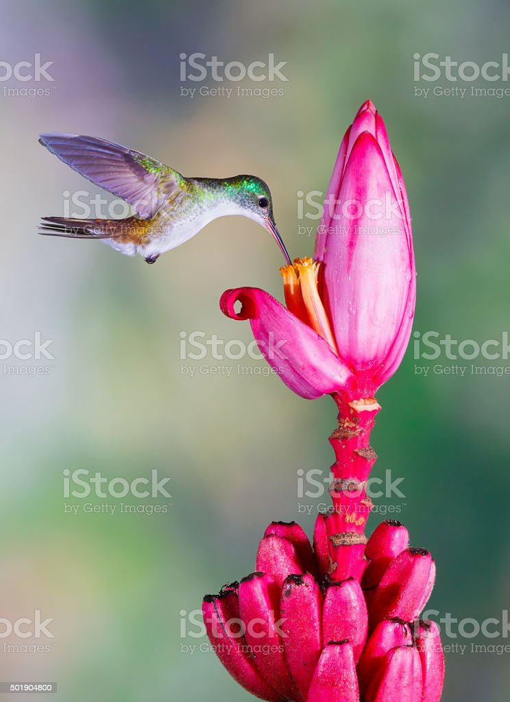 Hummingbird , Andean Emerald stock photo