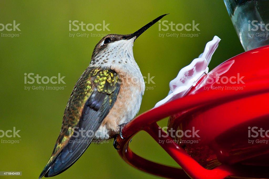 Hummingbird at a Feeder royalty-free stock photo