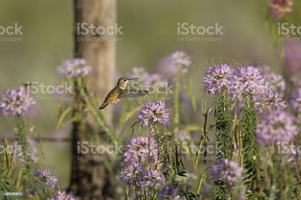 Hummingbird at Bee Plant royalty-free stock photo