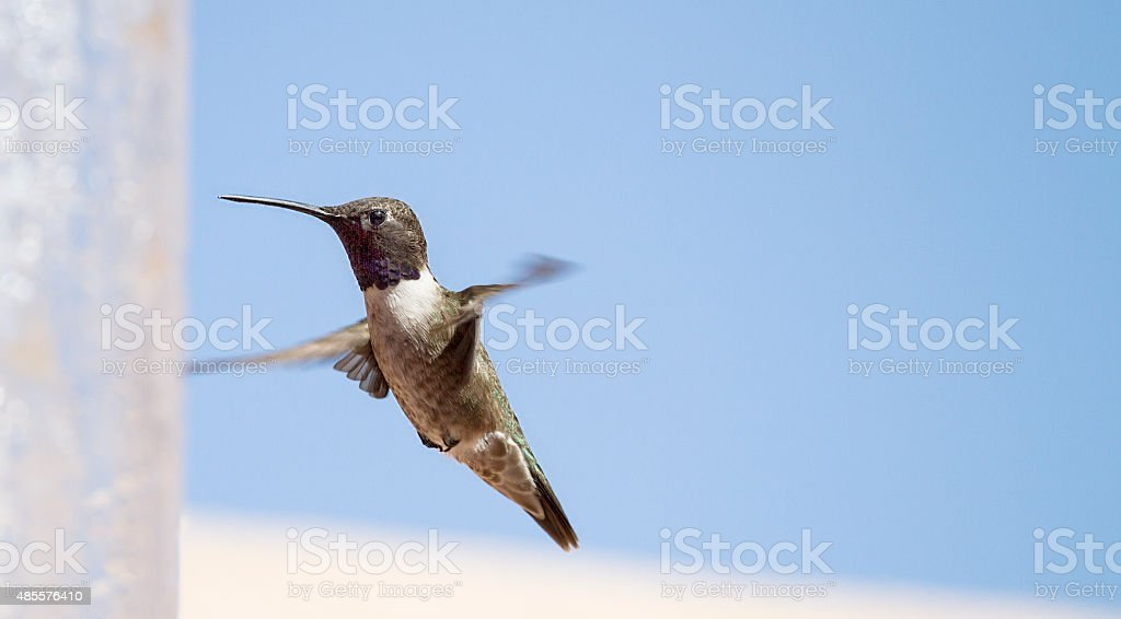 Hummingbird beating its wings stock photo