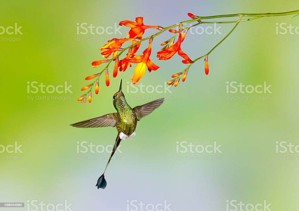 Hummingbird , Booted Racket-tail stock photo