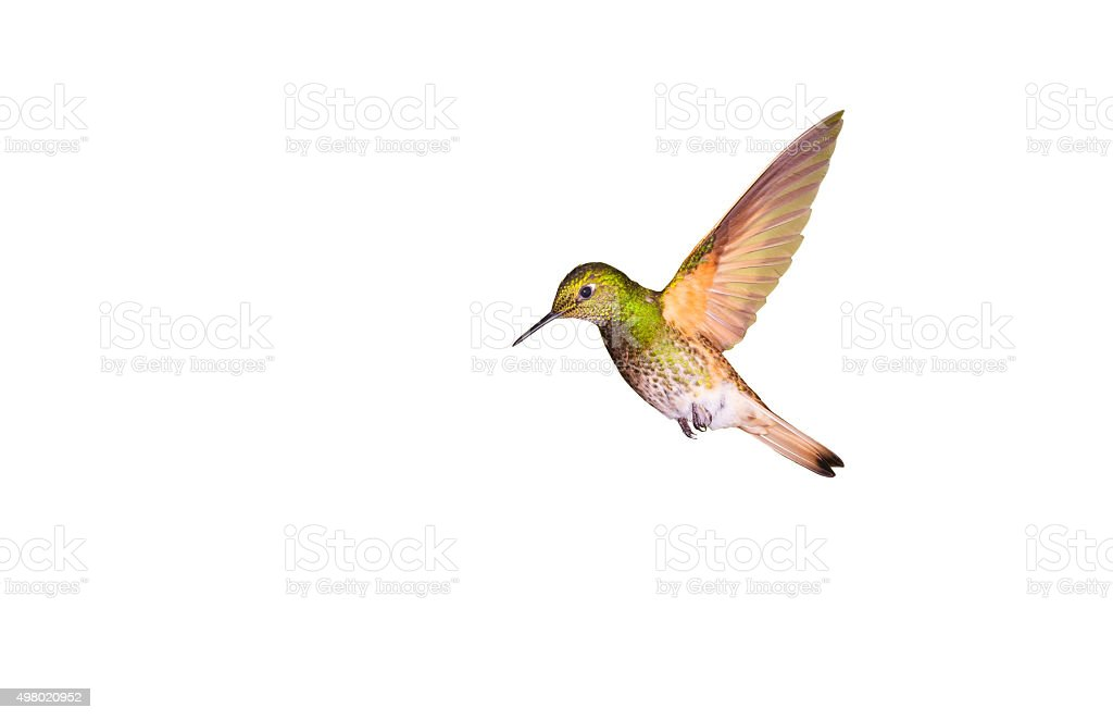 Hummingbird , Buff-tailed Coronet stock photo