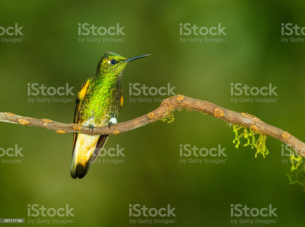Hummingbird , Buff-tailed Coronet stock photo