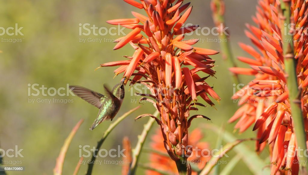 Hummingbird & Cactus flower stock photo