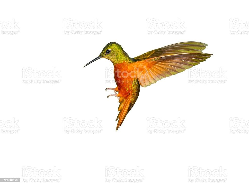 Hummingbird , Chestnut-breasted Coronet stock photo