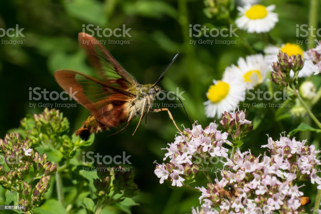 Hummingbird Clearwing Moth stock photo