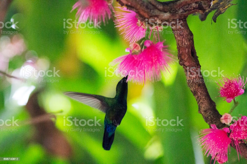 Hummingbird collecting nectar stock photo