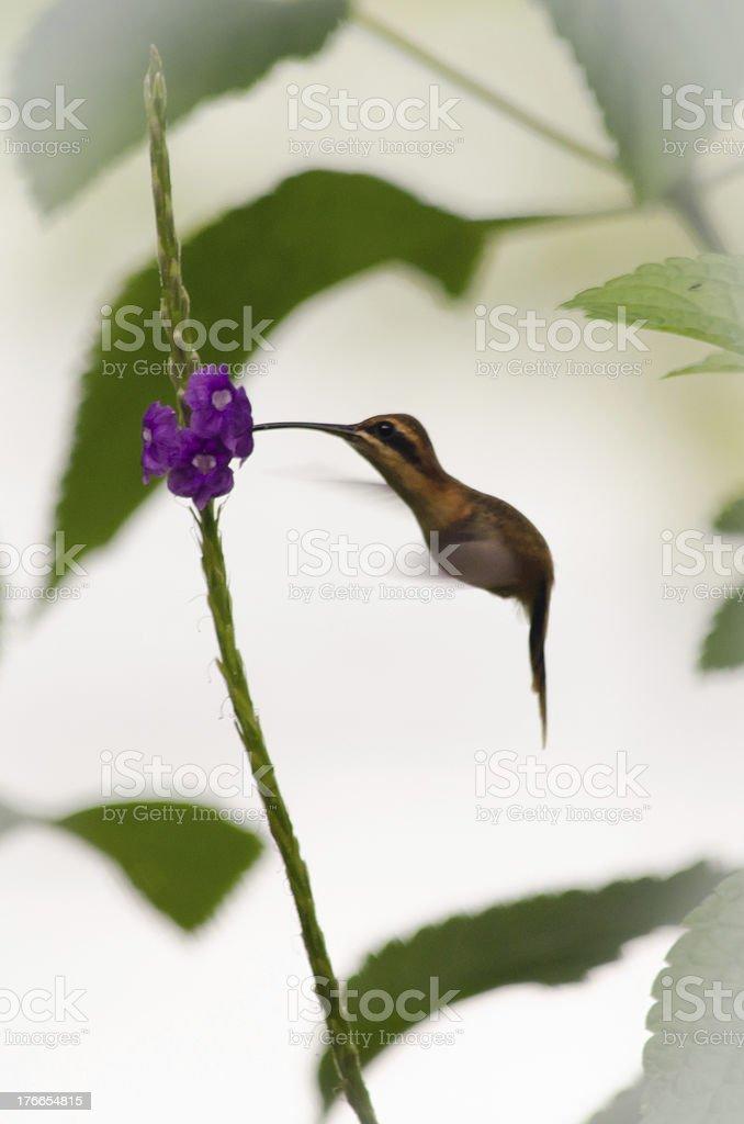 Hummingbird drinking nectar from purple flower royalty-free stock photo