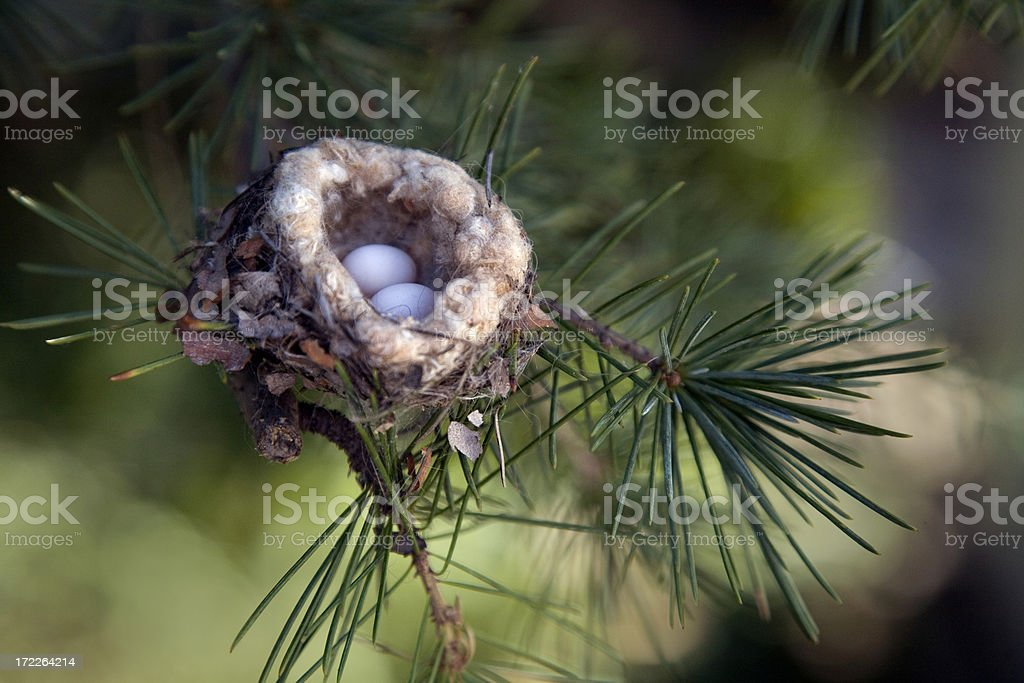 Hummingbird Eggs in Nest in Pine Tree Close Up royalty-free stock photo