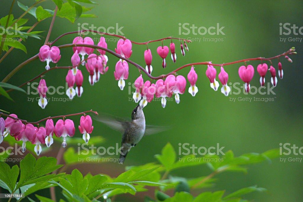 Hummingbird Feeding at Bleeding Heart Bloom stock photo
