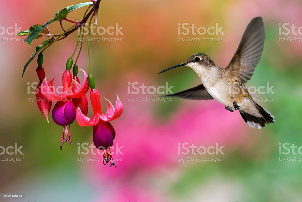 Hummingbird feeding on Hardy Fuchsia Plant stock photo