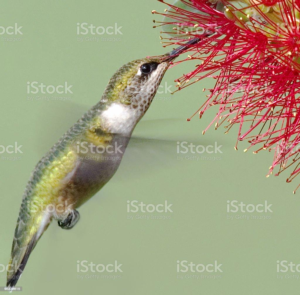 Hummingbird Feeding royalty-free stock photo