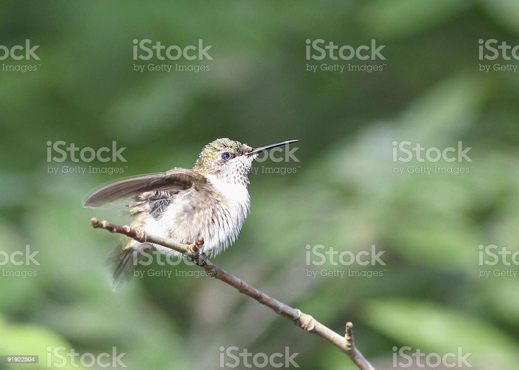 Hummingbird Fluffing royalty-free stock photo
