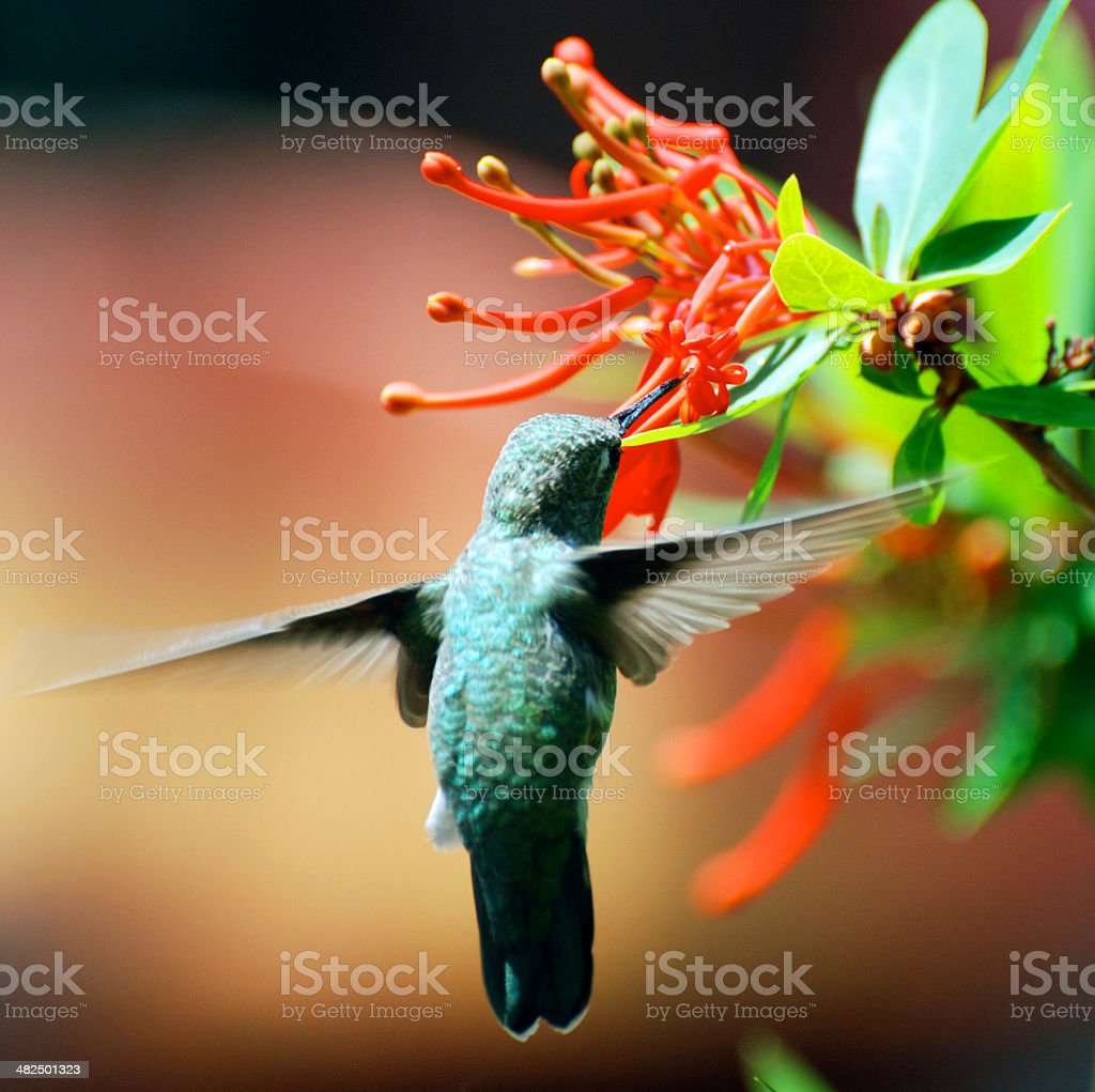 Hummingbird gathering nectar from blossom stock photo