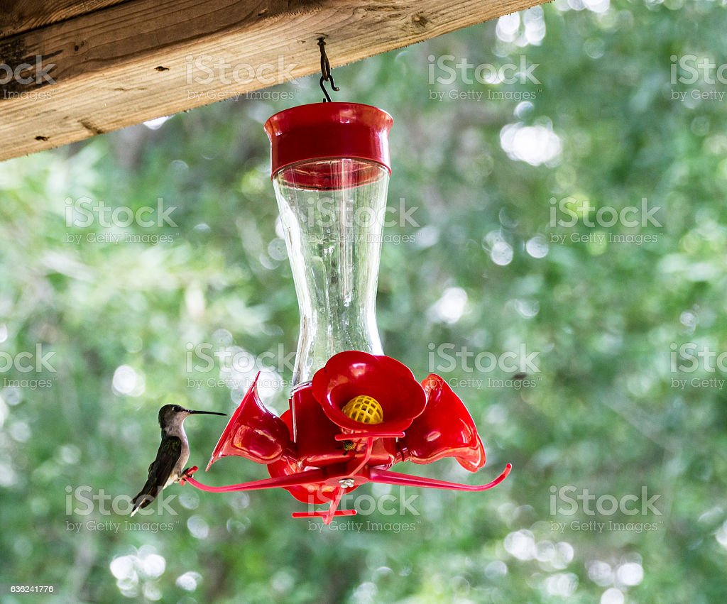 Hummingbird getting water stock photo