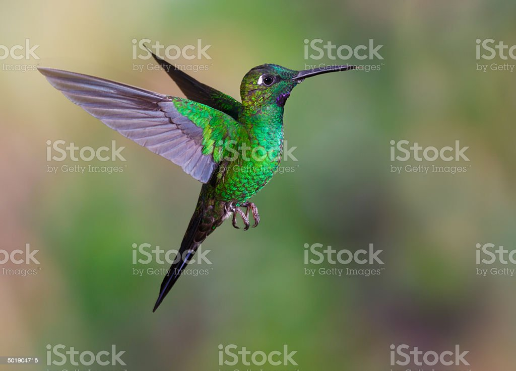 Hummingbird , Green-crowned Brilliant stock photo
