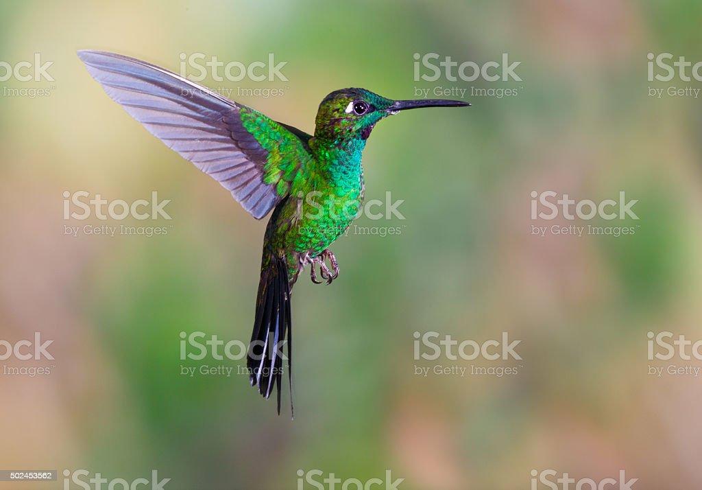 Hummingbird , Green-crowned Brilliant stock photo