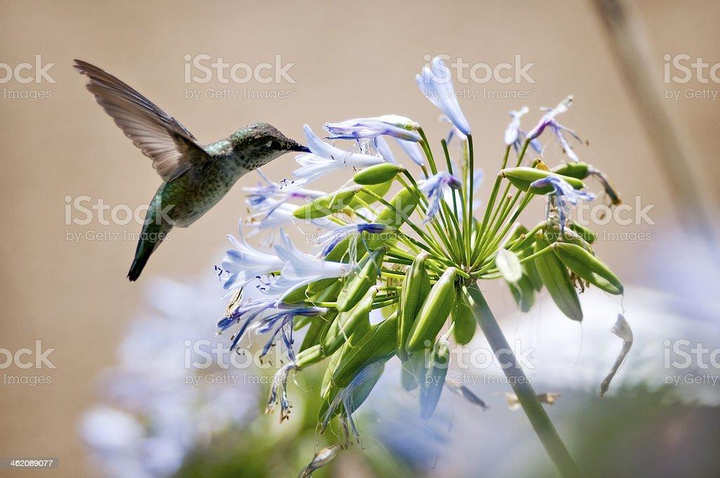 Hummingbird having lunch stock photo