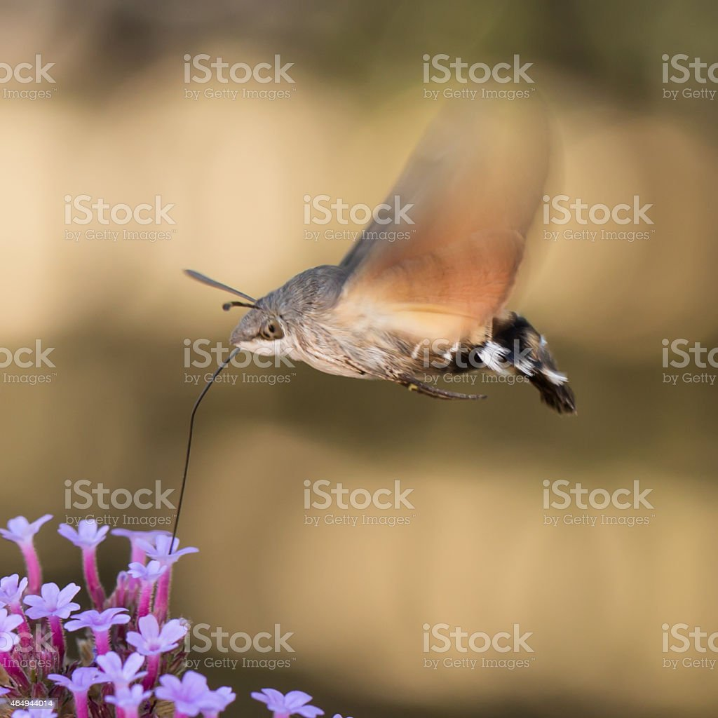 Hummingbird Hawk moth in flight stock photo