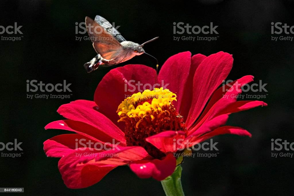 Hummingbird hawk moth, Kazakhstan. stock photo