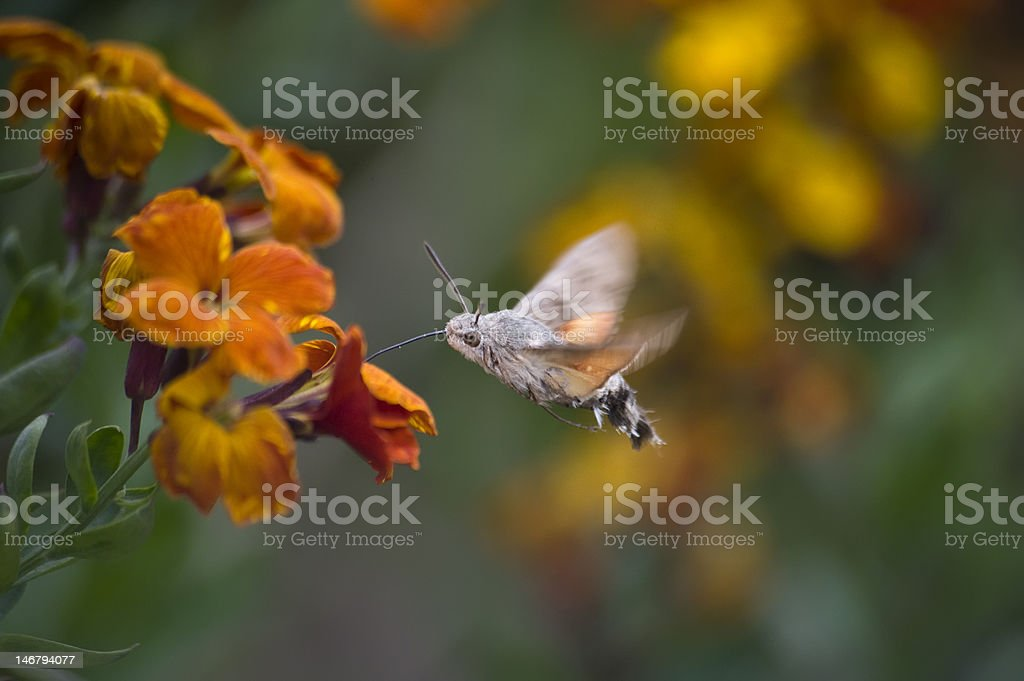 Hummingbird hawk moth stock photo
