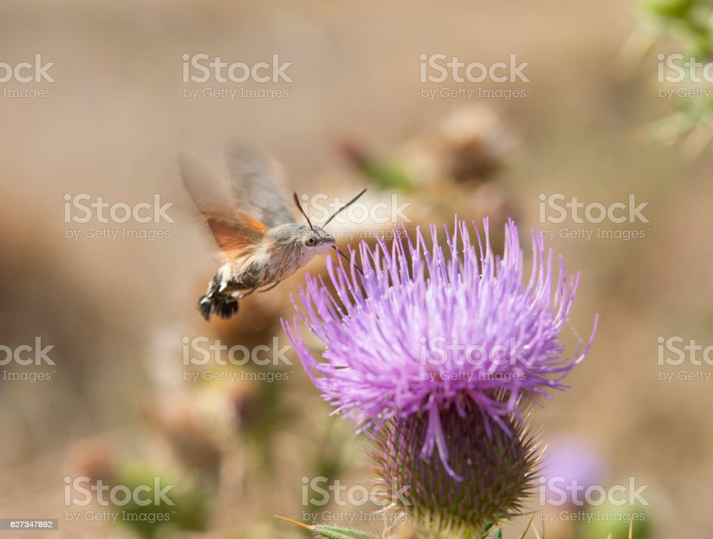 Hummingbird hawk-moth and milk thistle stock photo