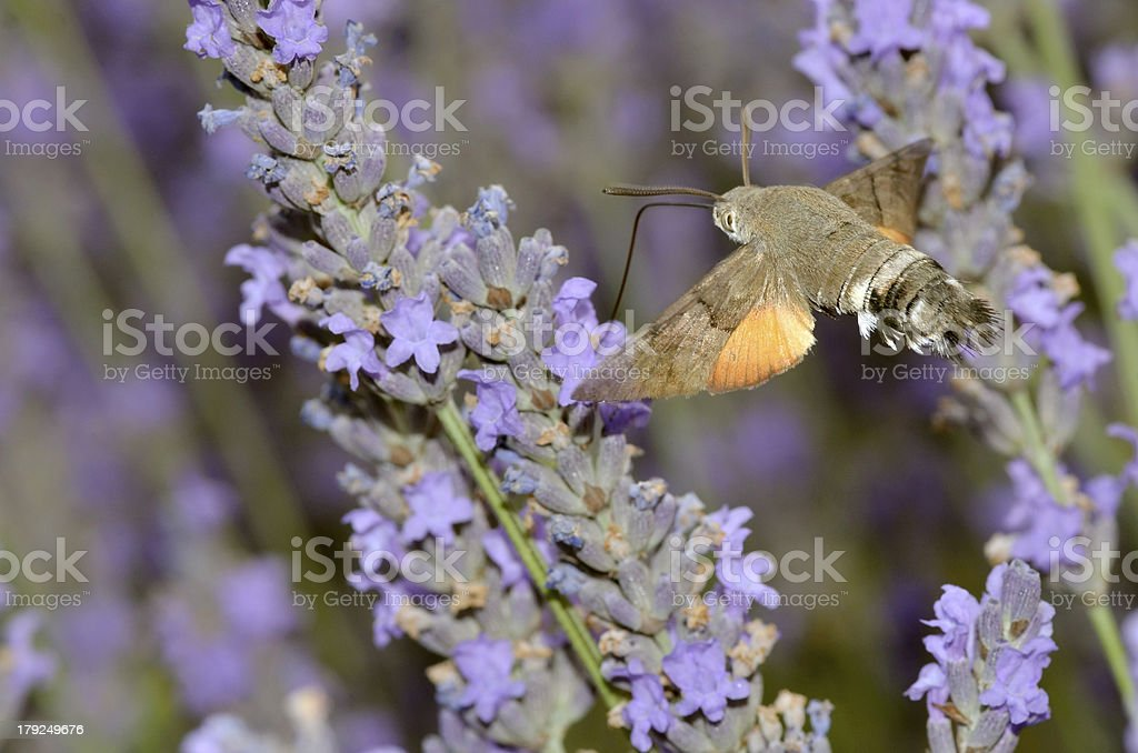 Hummingbird Hawk-moth butterfly in flight stock photo