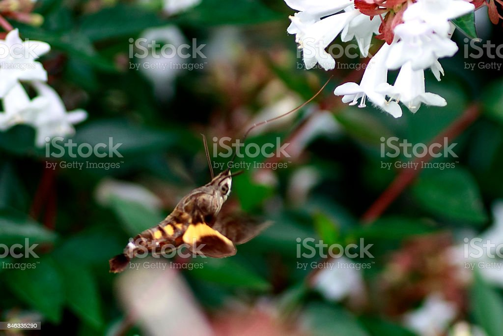 Hummingbird Hawkmoth by High Angle stock photo