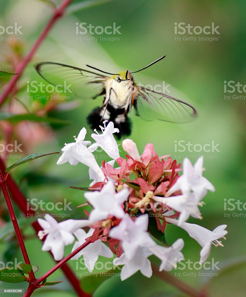 Hummingbird Hawkmoth by Low Angle stock photo