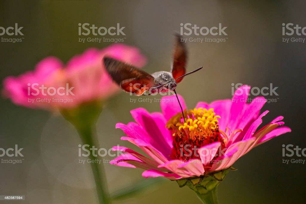Hummingbird hawkmoth feeding in flight from red flower stock photo