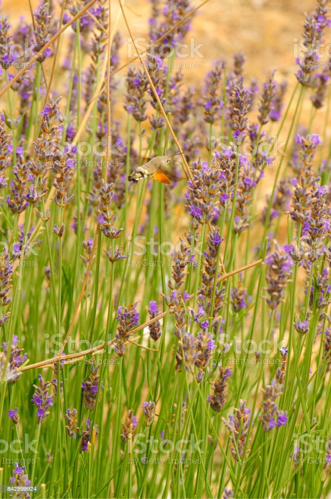 Hummingbird hawk-moth (Sphingidae) feeds on nectar from lavender flowers stock photo
