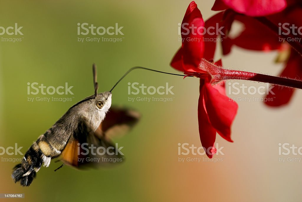 Hummingbird Hawk-moth geranium nectar stock photo