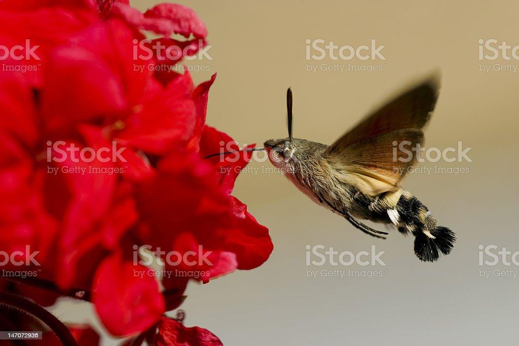 Hummingbird Hawk-moth geranium nectar stock photo
