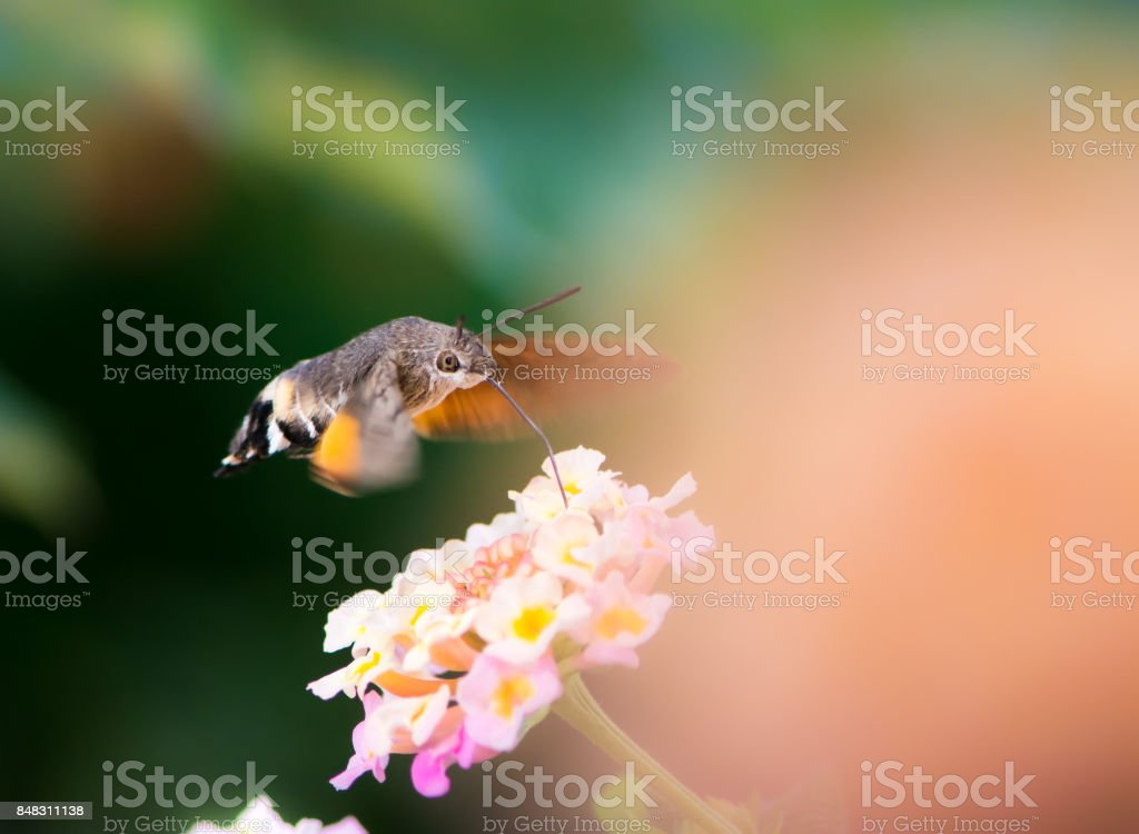 Hummingbird hawk-moth hovering over lantana flower stock photo