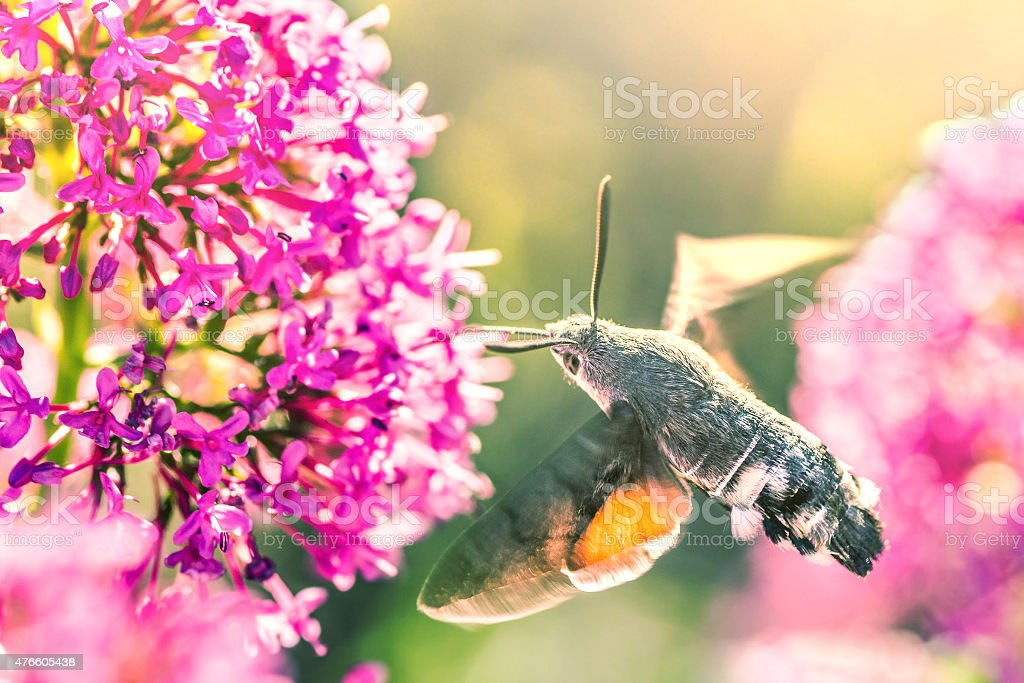 Hummingbird Hawk-moth insect flying on Valerian flower stock photo