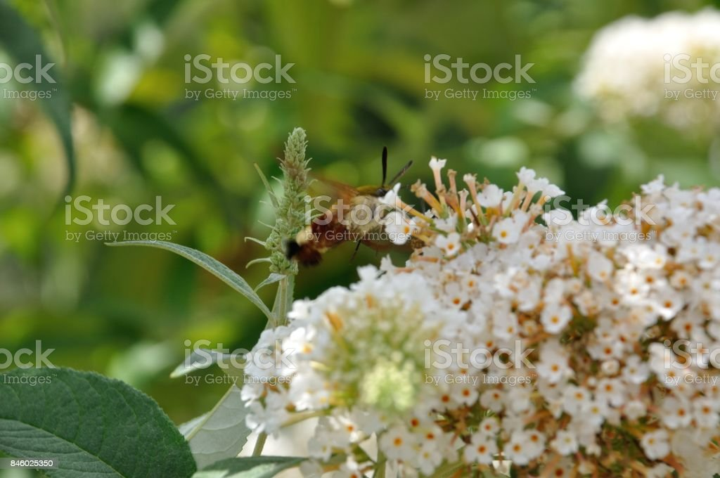 hummingbird hawk-moth on a flower stock photo