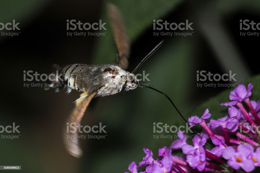 Hummingbird hawk-moth on Buddleja Davidii stock photo