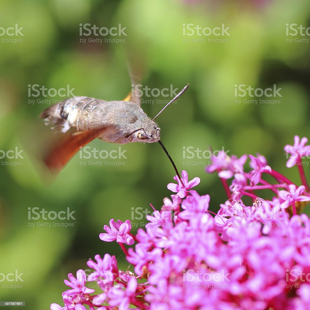 Hummingbird Hawk-moth on Valerian flower stock photo