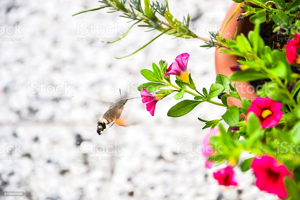 Hummingbird hawk-moth (Macroglossum stellatarum) stock photo