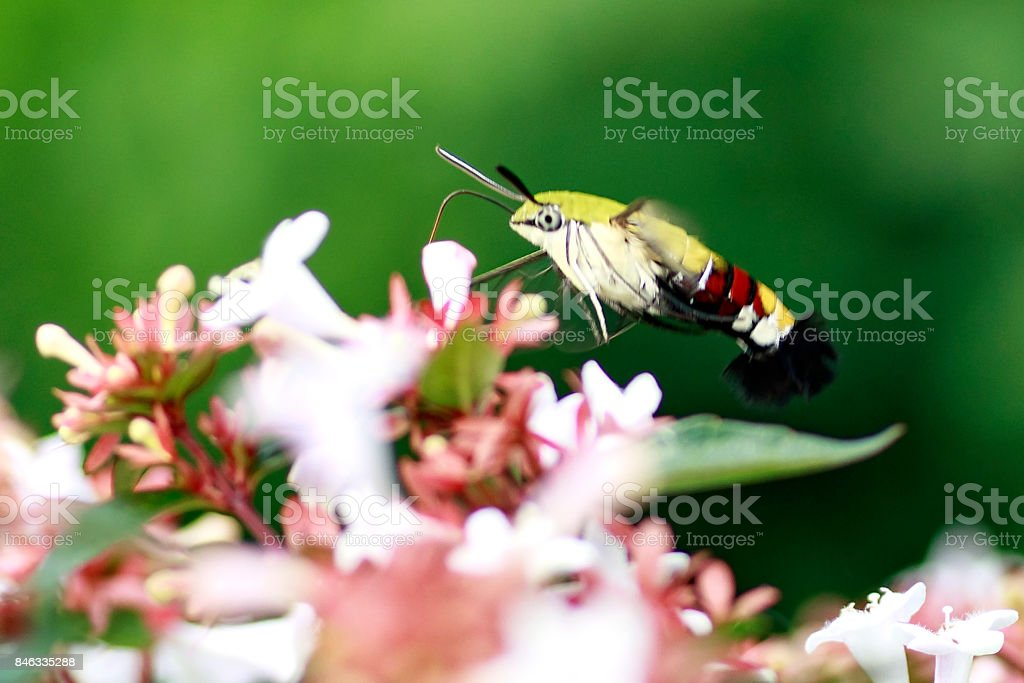 Hummingbird Hawkmoth stock photo