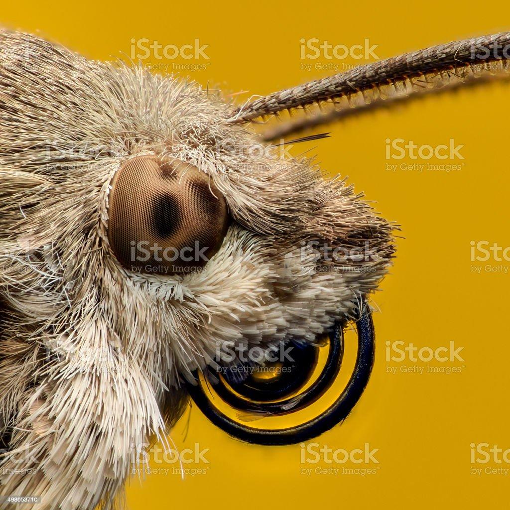Hummingbird hawk-moth portrait, extreme magnification stock photo