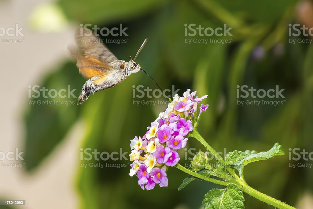 Hummingbird Hawkmoths (Macroglossum stellaturum) royalty-free stock photo