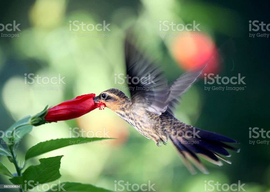Hummingbird, Hermit stock photo
