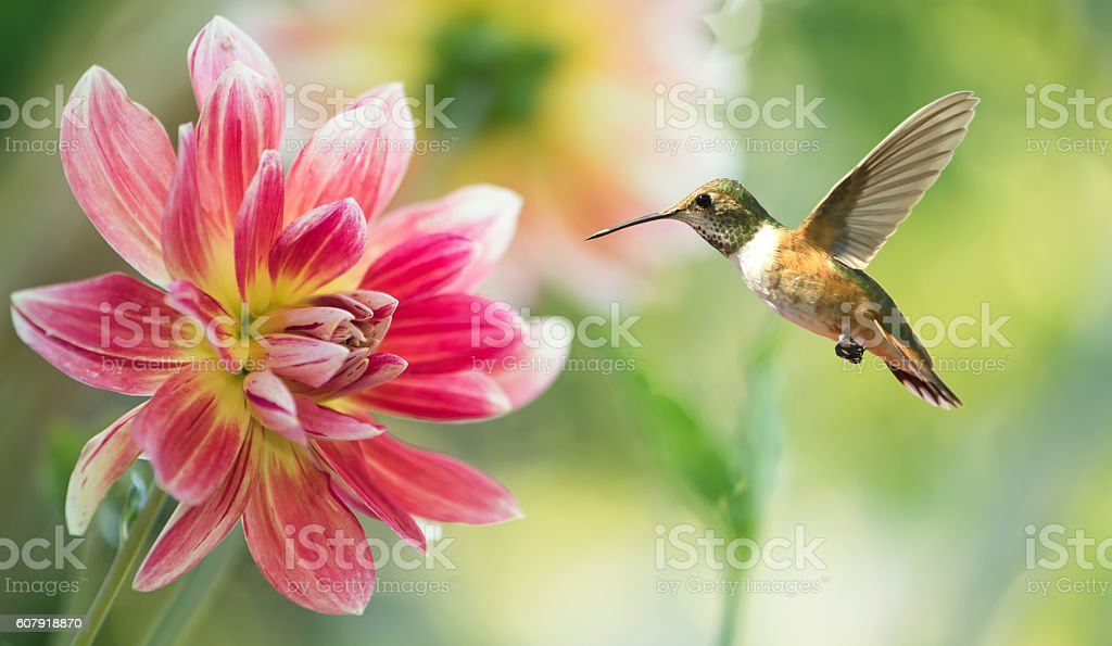 Hummingbird hover in mid-air in the garden stock photo